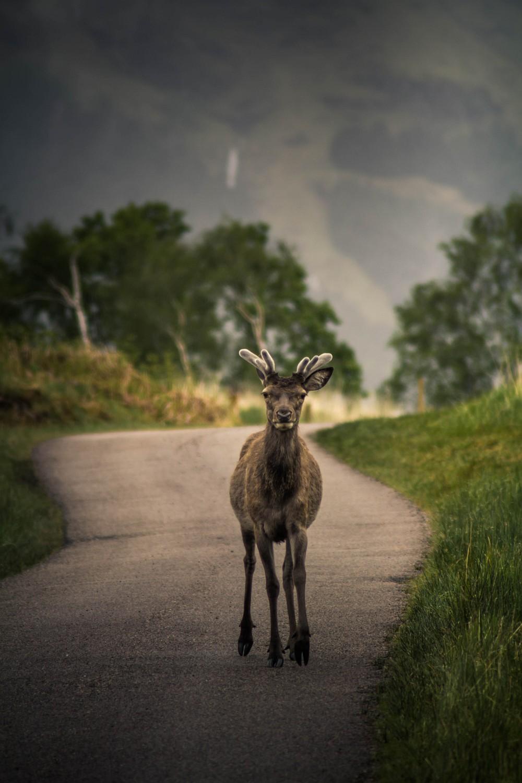 junger Hirsch im Glen Etive